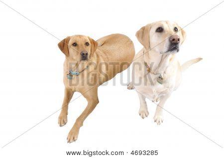 Pair Of White Labradors