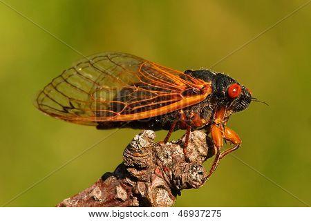 17 Year Cicada (magicicada Cassini)
