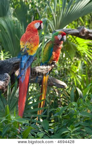 Scarlet Macaw Parrots