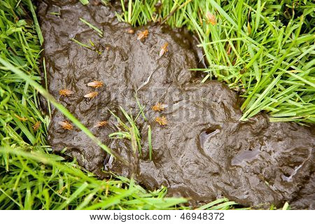 cow dung with flies in meadow