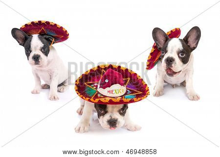 French bulldog puppies in Mexican sombrero over white background