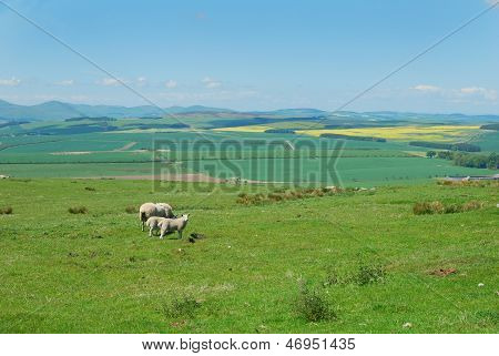 Looking North With Sheep Grazing, Northumberland