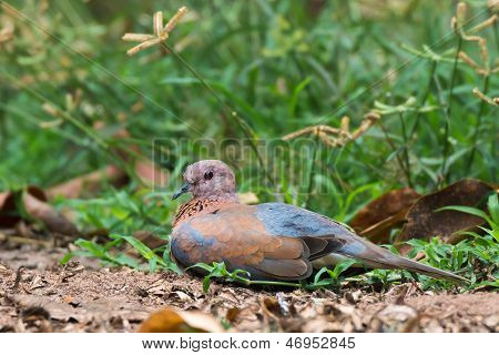 Laughing Dove Resting On Ground