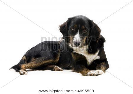 Dog - Looking Gently