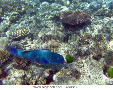 Steephead Parrotfish At The Great Barrier Reef, Australia