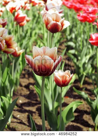 Tulips In A Flowerbed