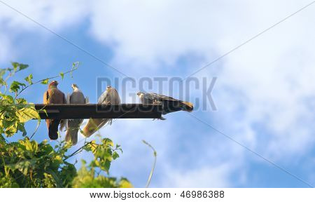 Pigeon Birds Sitting With Blue Sky With Clouds On Background