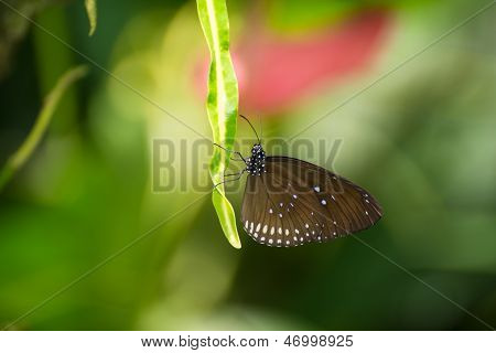 The Common Crow, Danaidae Euploea, Butterfly On A Leaf Extreme Close Up