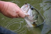 image of fisherman  - fisherman holding  large mouth bass for release closeup - JPG