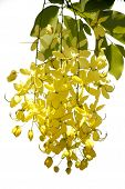 pic of cassia  - Beautiful yellow cassia flower with white background - JPG