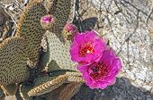 image of anza  - Beavertail cactus in Anza - JPG