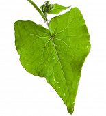 One single fresh leaf of buckwheat plant shape heart isolated on white background