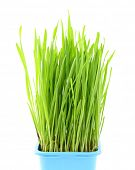 Wheatgrass en maceta