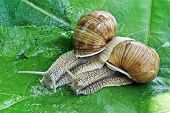 foto of hermaphrodite  - Mating game snails on the background of green leaves - JPG