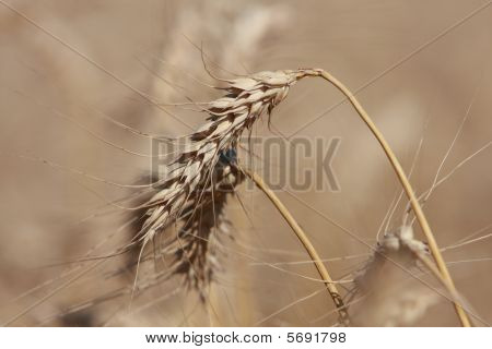 Head of wheat