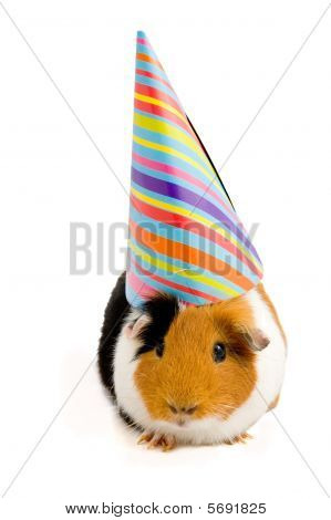 Guinea Pig Wearing Party Hat