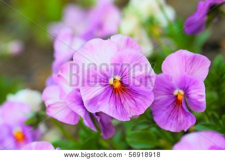 Pink Pansy Flowers on Flower Bed