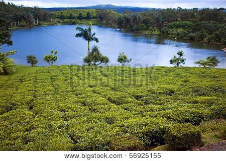Tea plantation (Bois Cheri) in the foothills. Mauritius