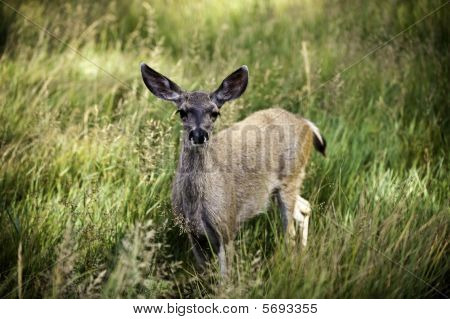 Doe Standing In A Meadow