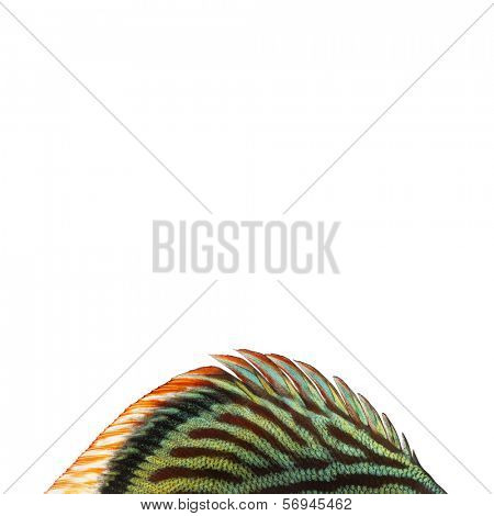 Close-up of a Blue snakeskin discus' dorsal fin, Symphysodon aequifasciatus, isolated on white