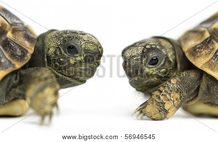 Close-up of two baby Hermann's tortoise facing each other, Testudo hermanni, isolated on white