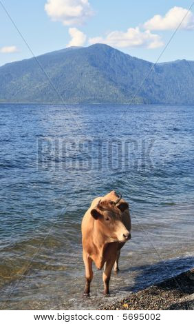 The Cow In Water