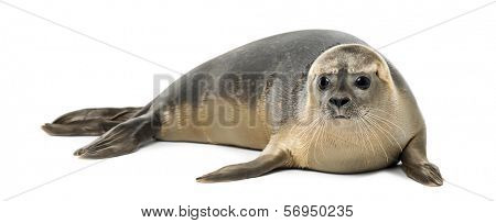 Common seal lying, Phoca vitulina, 8 months old, isolated on white
