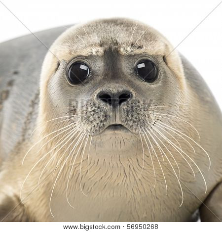 Close-up of a Common seal looking at the camera, Phoca vitulina, 8 months old, isolated on white