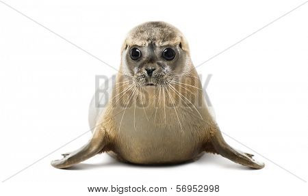 Front view of a Common seal lying, looking at the camera, Phoca vitulina, 8 months old, isolated on white