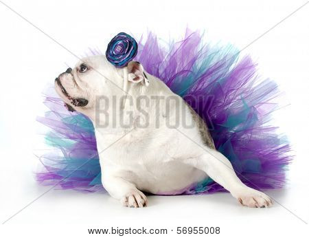 spoiled dog - english bulldog dressed up wearing a tutu isolated on white background