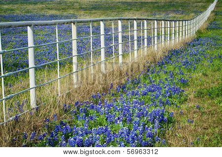 Bluebonnets and a white fence