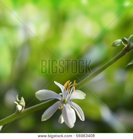 Flower Chlorophytum