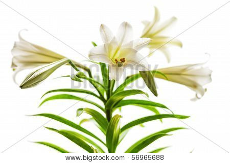 Easter Lilies High Key