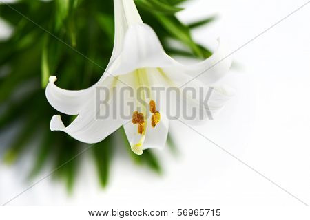 Easter Lily Solitaire High Key