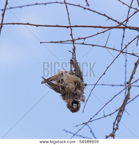 Deaceased Cape Sparrow (passer Melanurus)