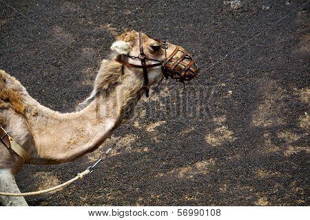 Brown Dromedary Bite In The Volcanic Timanfayaspain Africa
