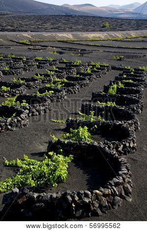 Lanzarote Spain La Geria Vine Screw Grapes