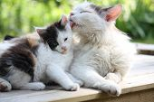stock photo of puss  - Mother cat washing her adorable kitten in summer - JPG