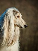stock photo of hirsutes  - afghan dog portrait close up on a nature