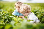 picture of strawberry blonde  - Two little twins boys on pick a berry farm picking strawberries in bucket - JPG