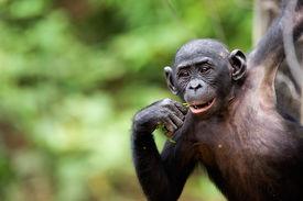 stock photo of chimp  - Cub of a Chimpanzee bonobo  - JPG