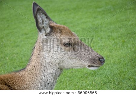 Young Red Deer Hind