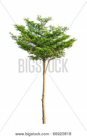 Terminalia ivorensis also called idigbo, black afara, framire, emeri, Tropical tree in Thailand