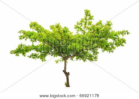 Terminalia Catappa Also Known As Tropical Almond, Bengal Almond, Indian Almond, Sea Almond, Beach Al