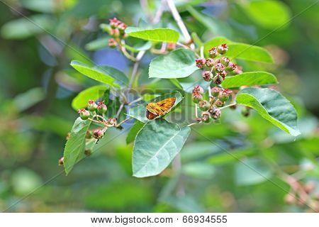 Skipper butterfly on shadbush