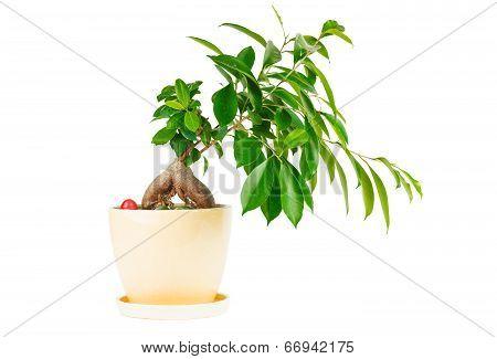 Outline ficus. Room flower in ceramic flowerpot