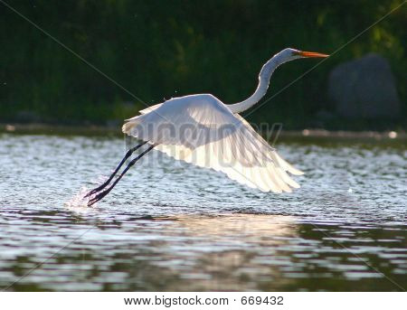Egret in  Sunlight