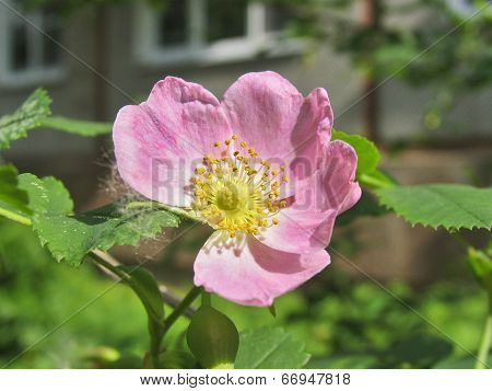 Light pink flower of rosehip