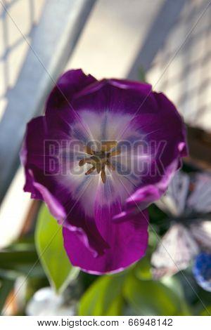 Closeup Of A Purple Tulip
