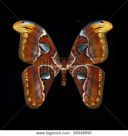 Atlas Moth Isolated On Black